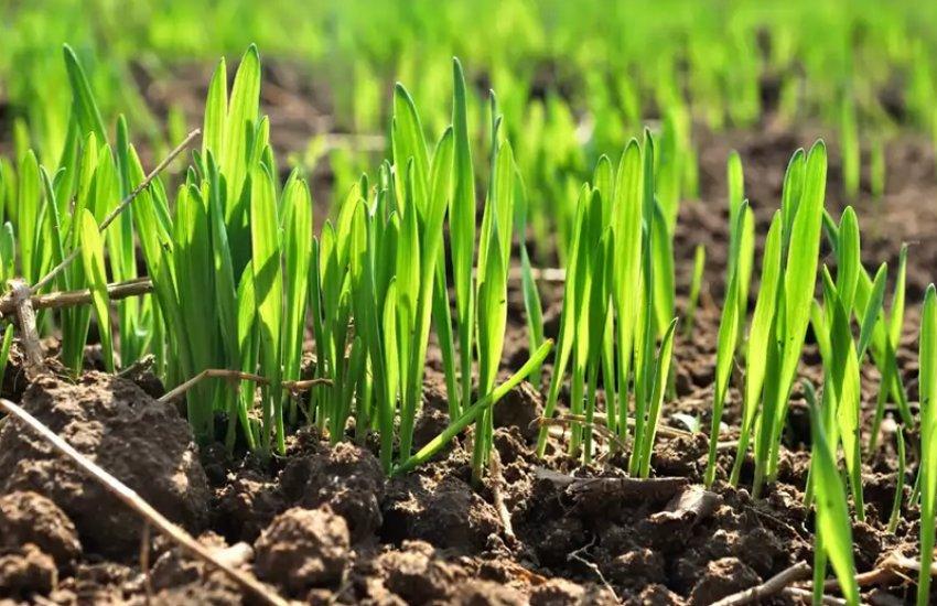 поле всходы сев