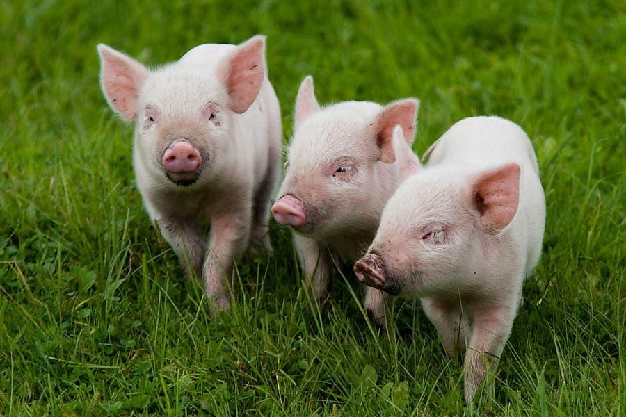 свинья свинина животноводство