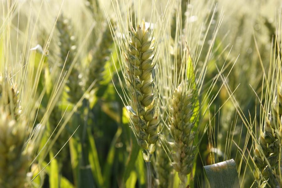 пшеница зерновые поле