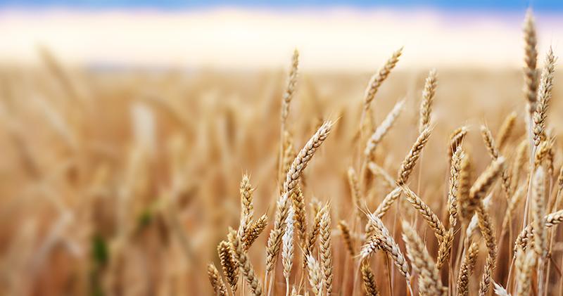 пшеница поле grain зерно