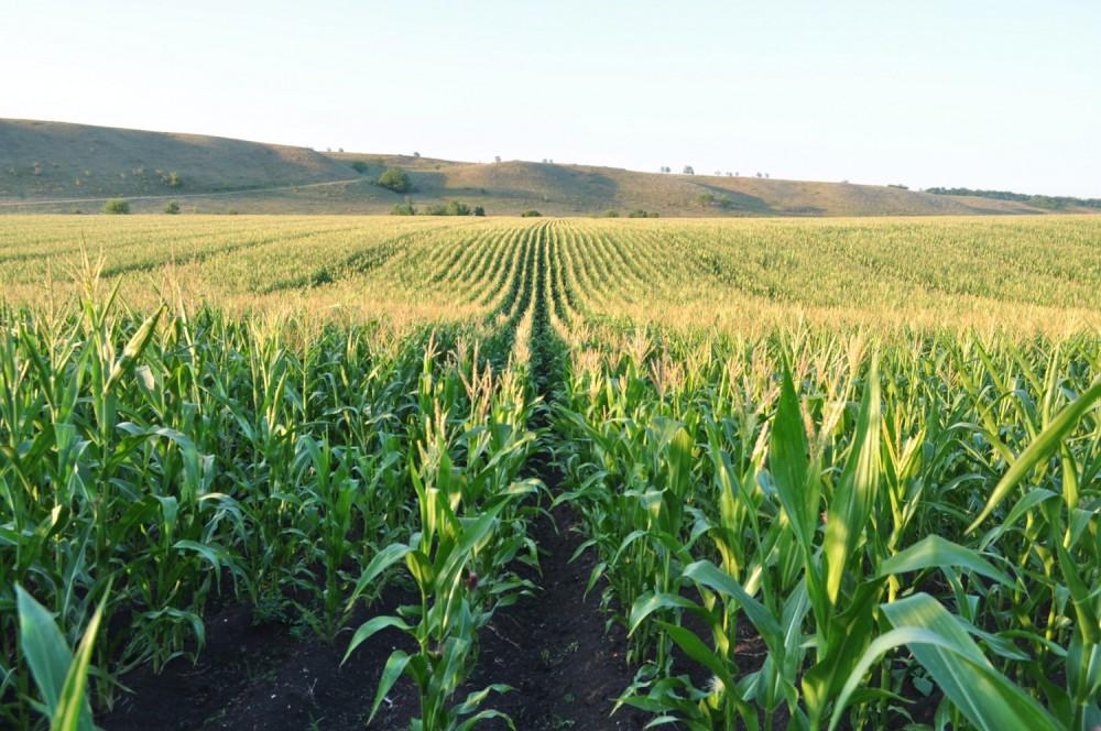 кукуруза corn