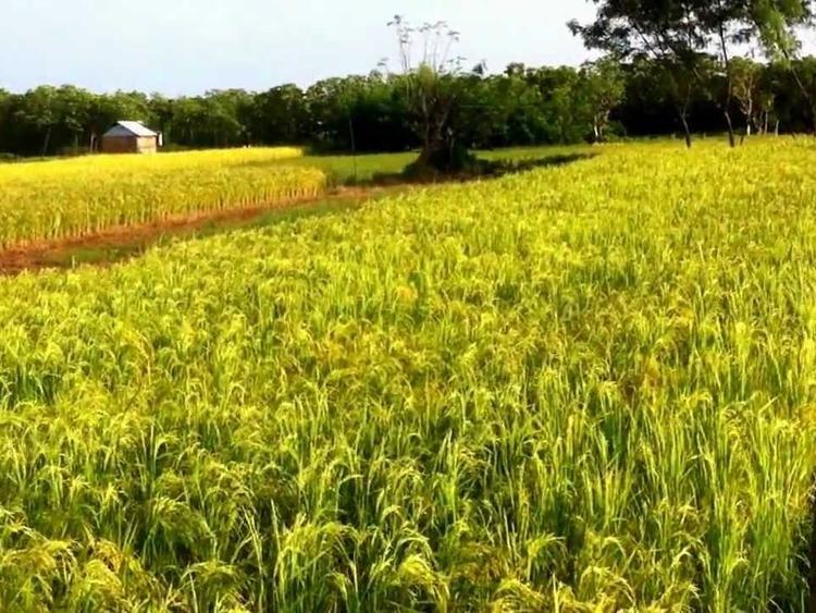 рис rice