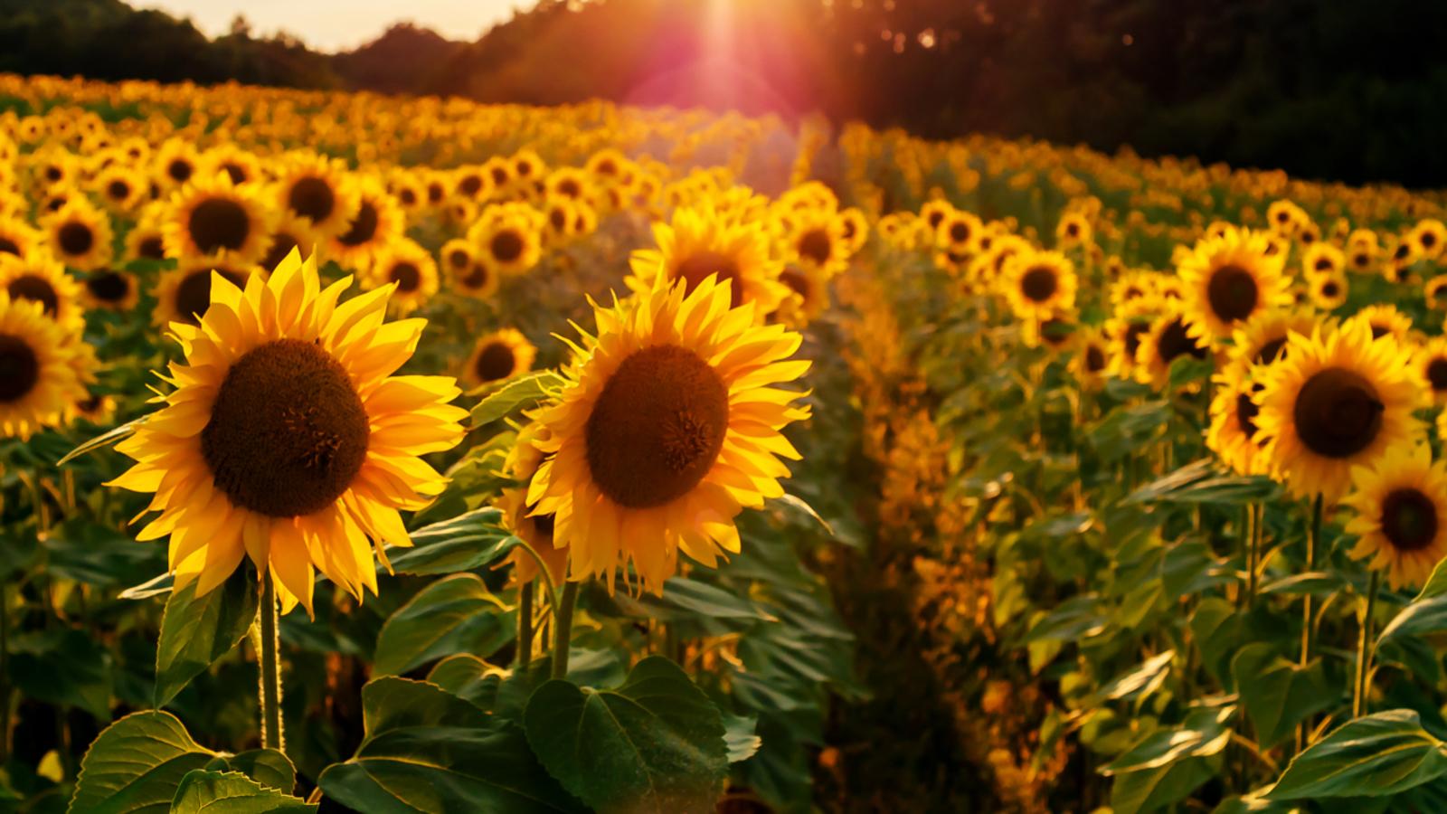 sunflower sunseed подсолнечник