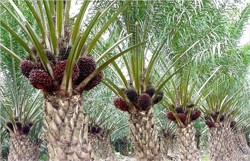 пальмы пальмовое масло