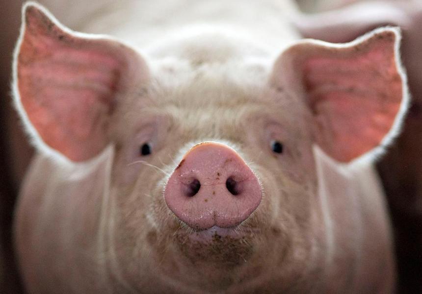 свинья животноводство