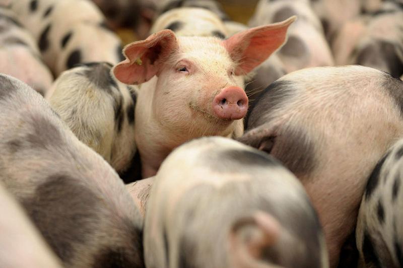 свинина свиньи ферма мясо животноводство пищепром