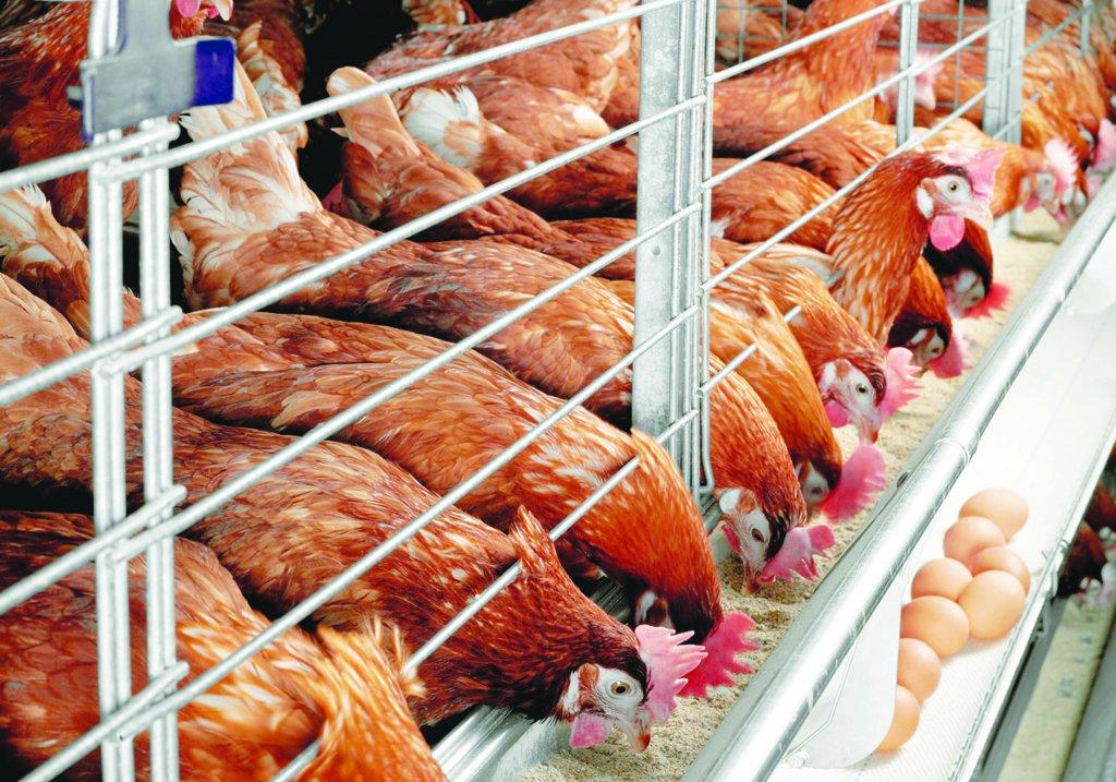животноводство птицеводство