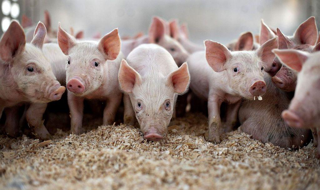 свиньи животноводство