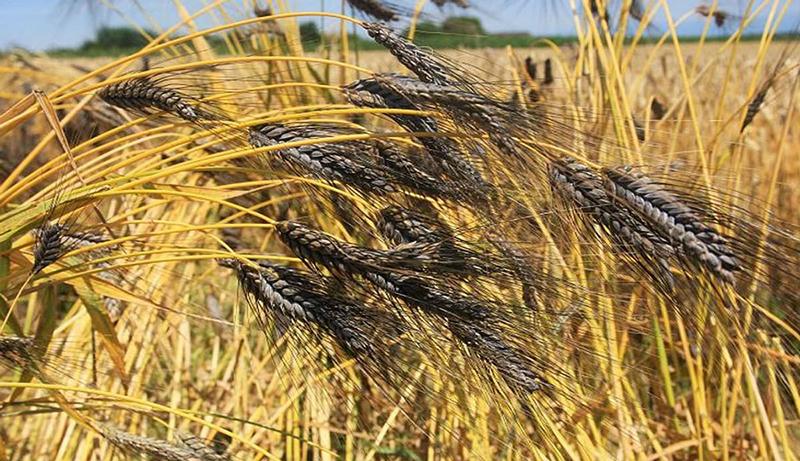 черная пшеница