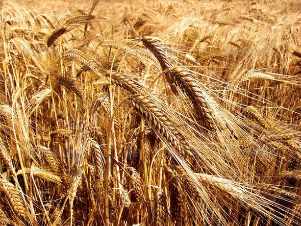 зерно поле grain field колоски