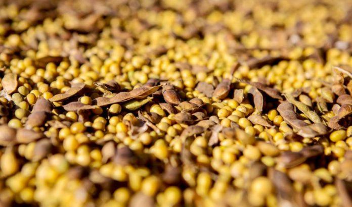 зерно grain соя soy