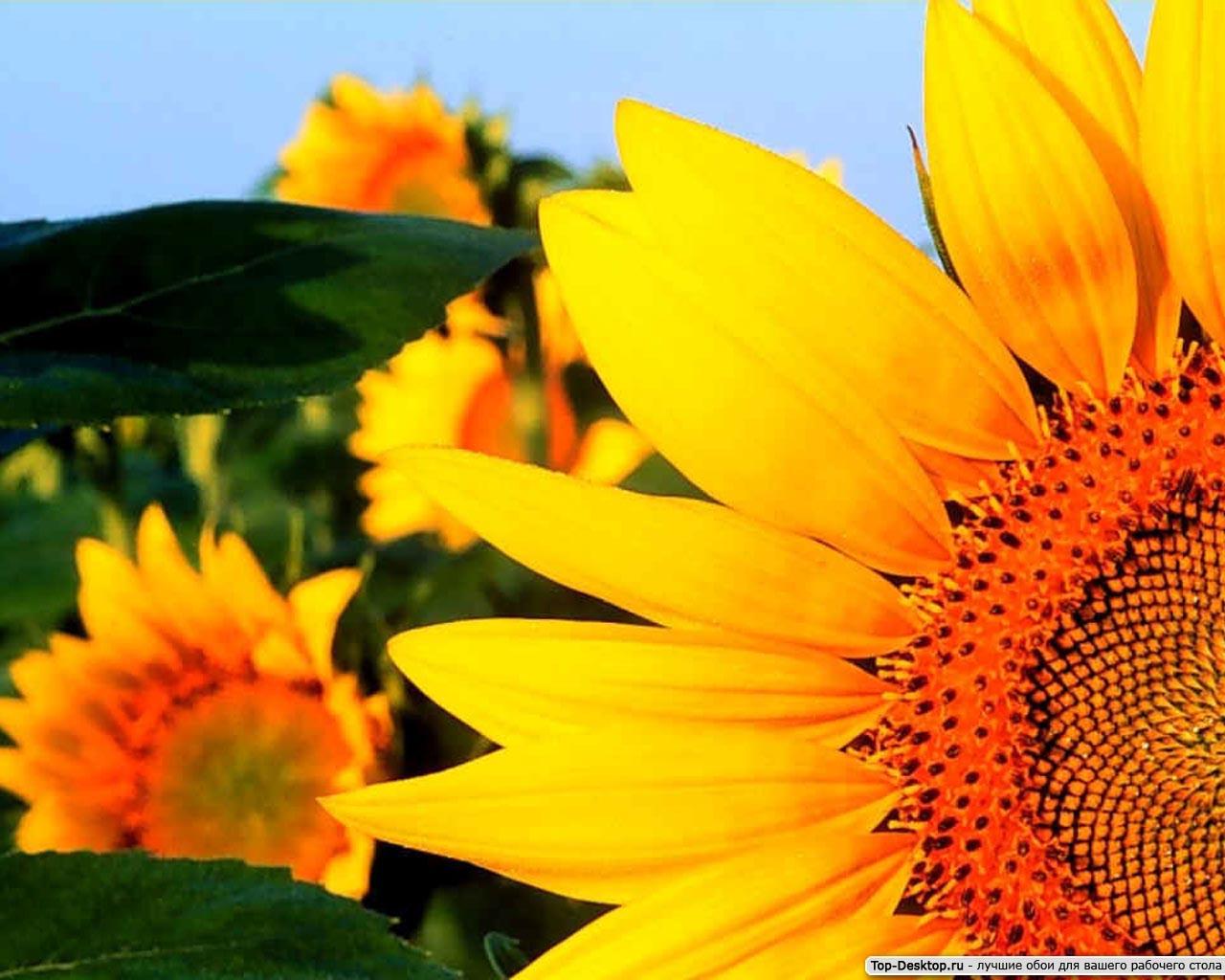 подсолнух подсолнечное масло sunflower oil