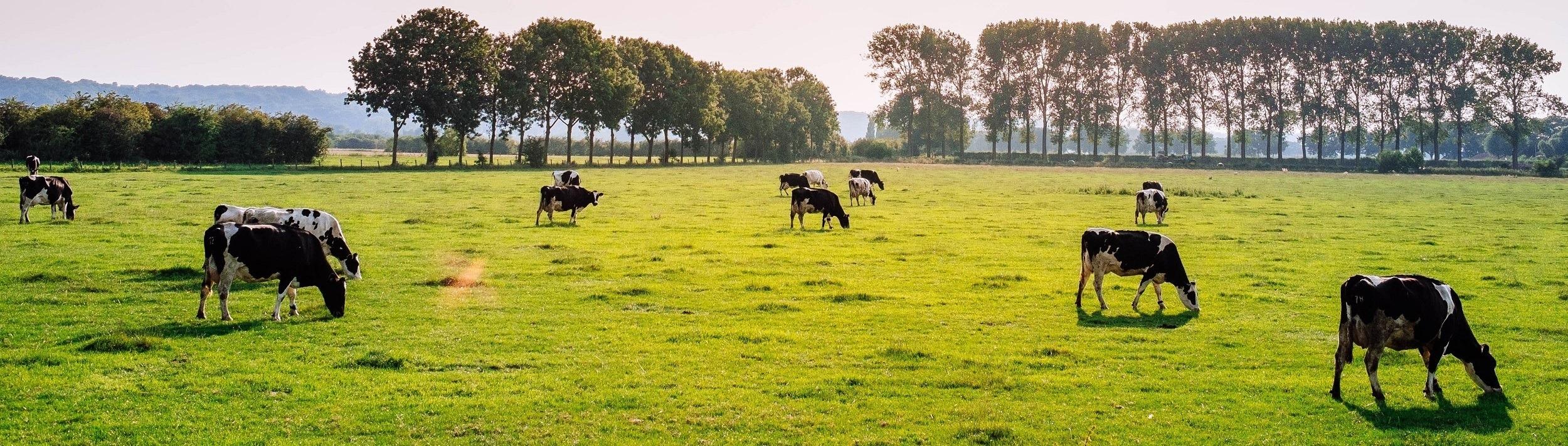 Organuary коровы скот животноводство телятина