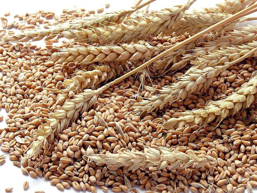 зерно grain колоски