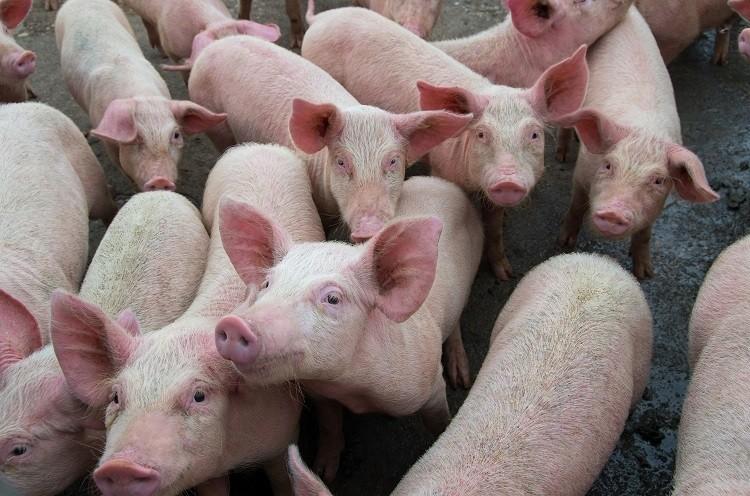 pigs скиньи свинья поросята свинина