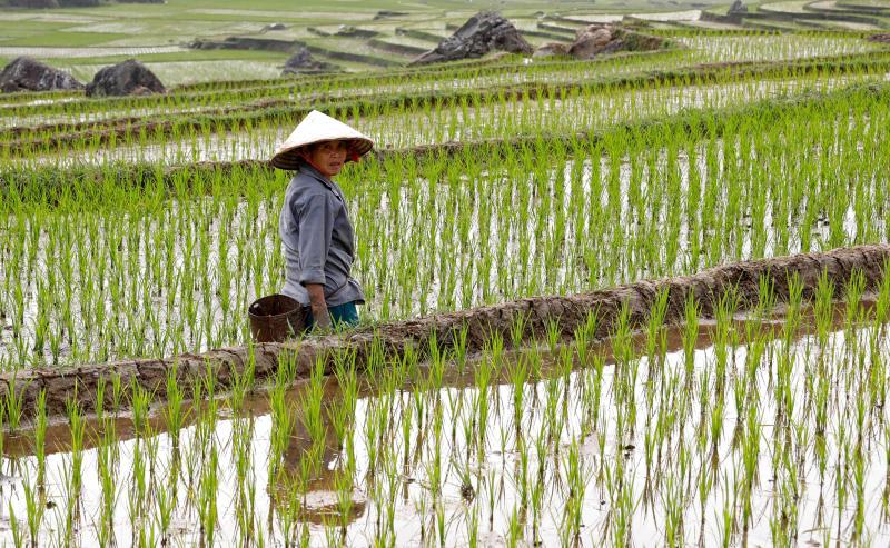 rice farm рис