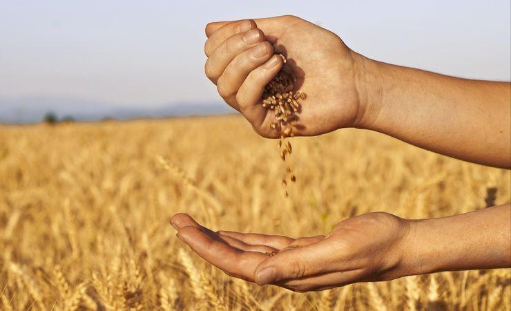 grain зерно поле колоски