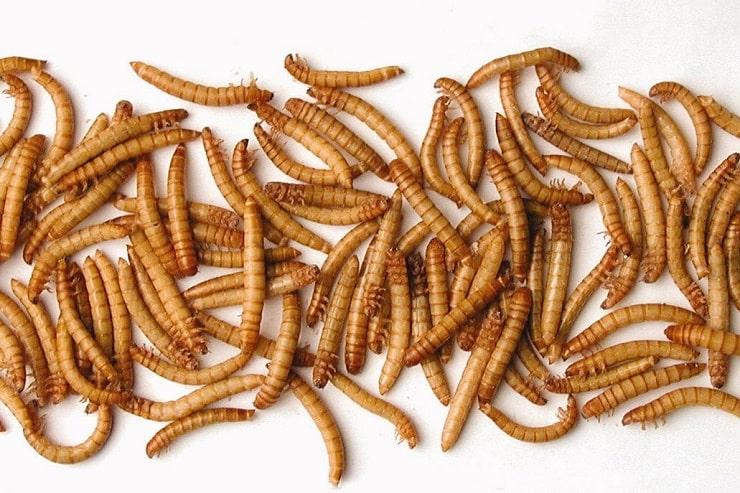 мука мучные черви пищепром пищевая промышленность