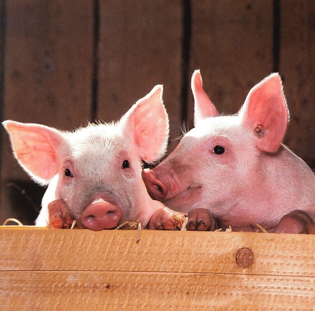 svinovodstvo pigs свиньи свиноводство