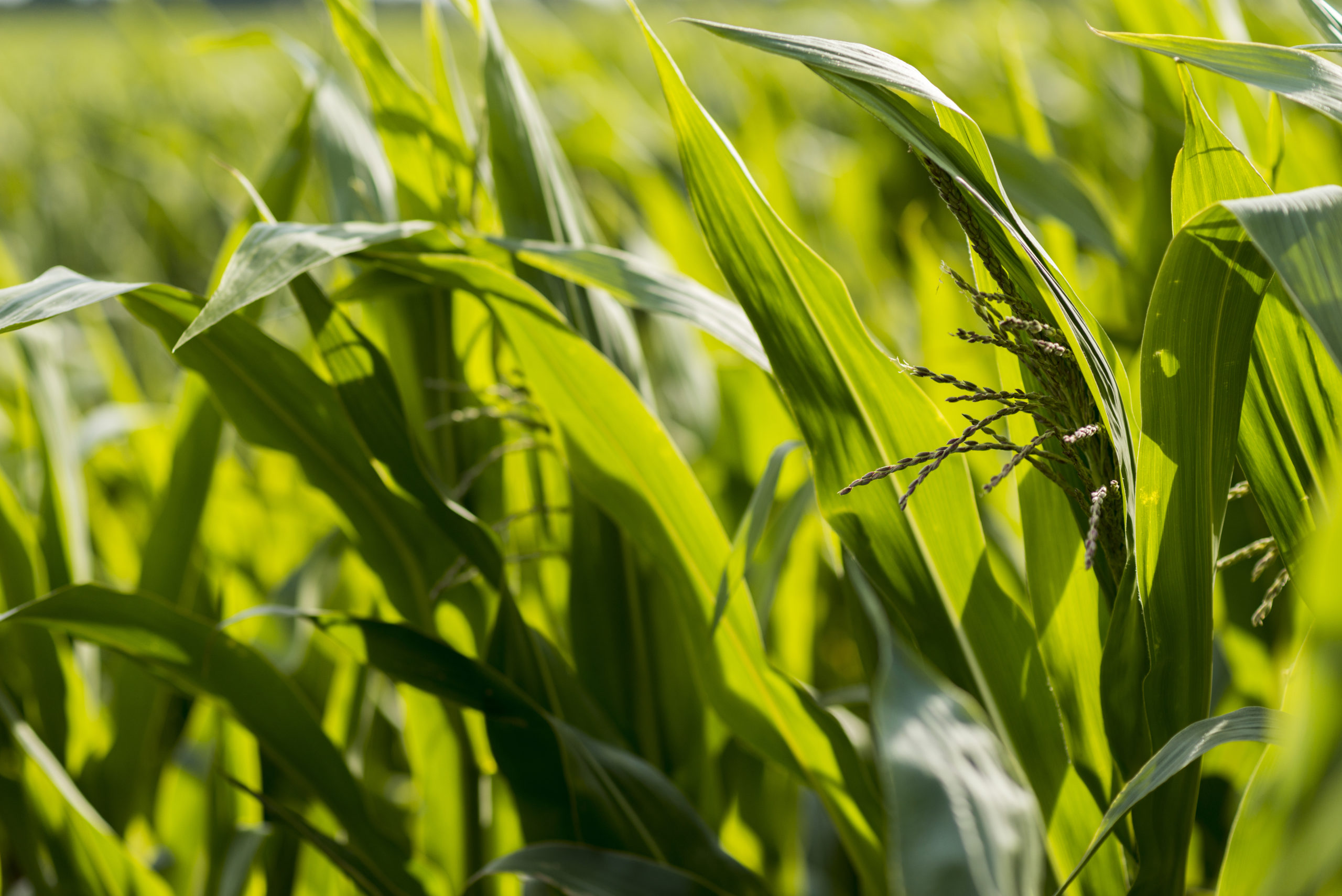 corn field поле кукуруза