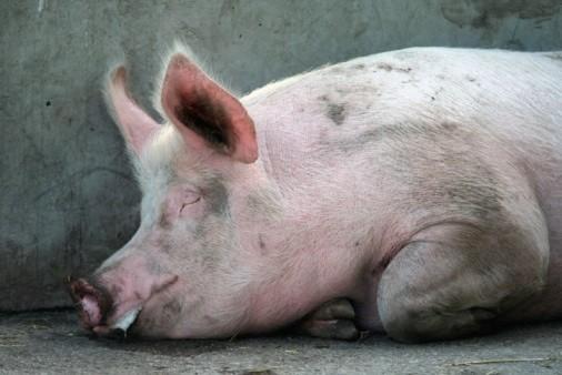 животноводство свинья свинина african swine fever