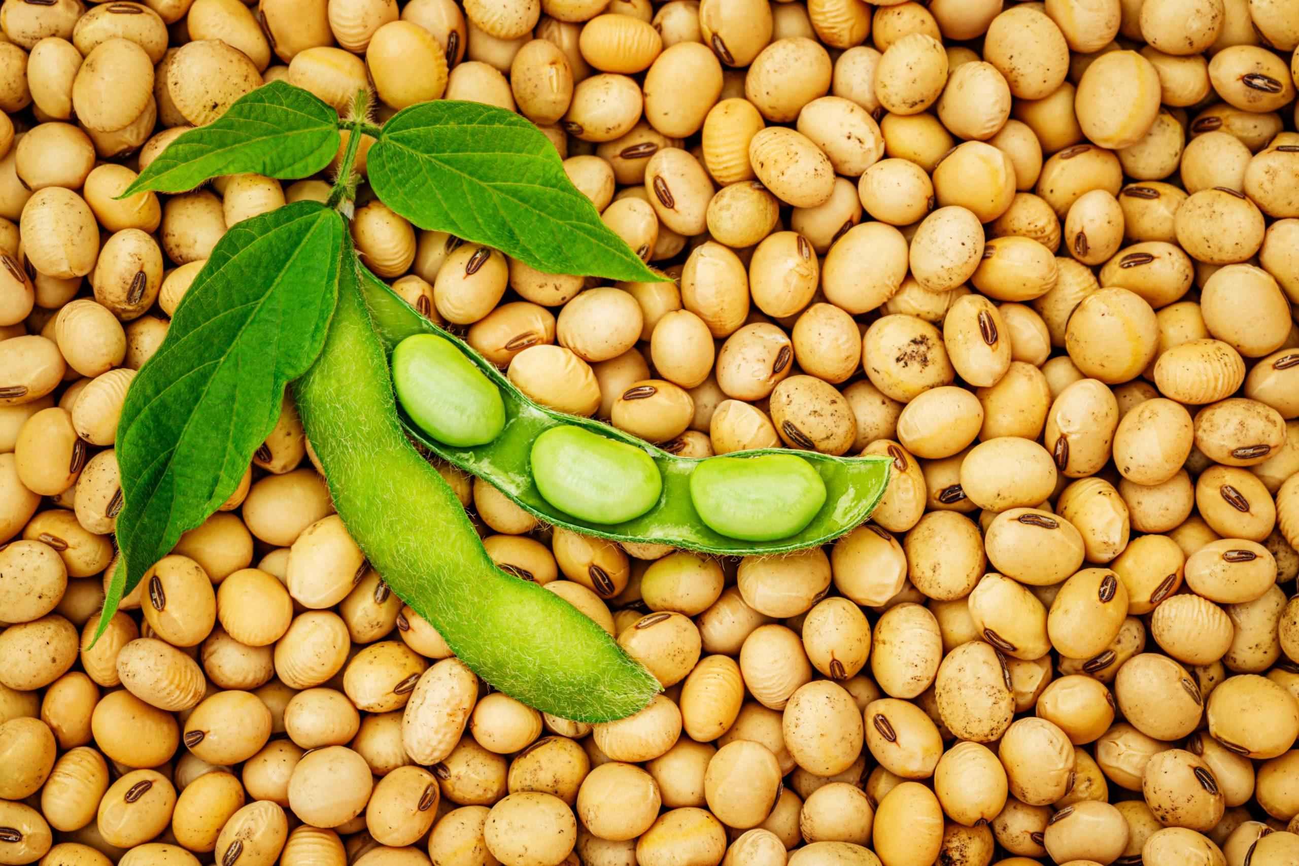 соя soy soja soybean