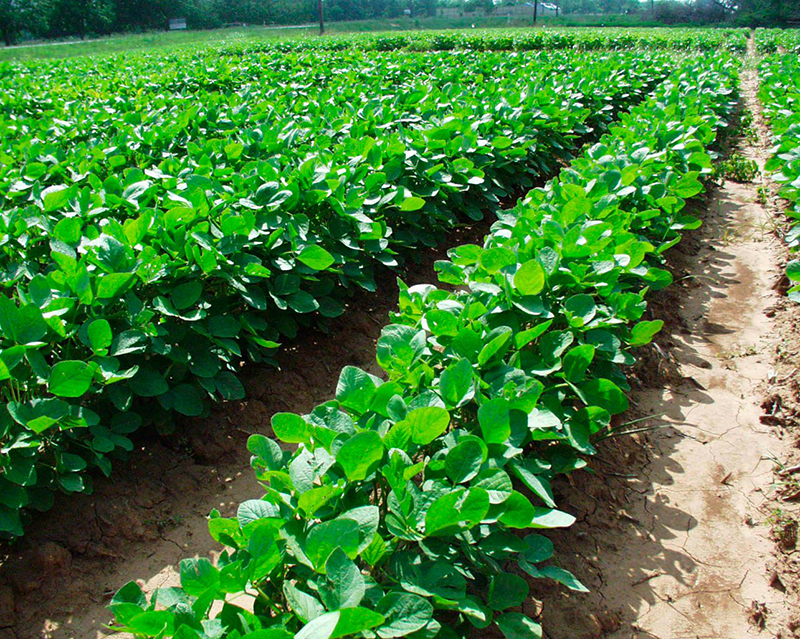 соя soy soybeans