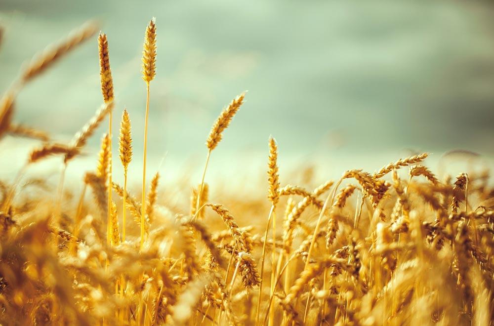 зерно поле grain field