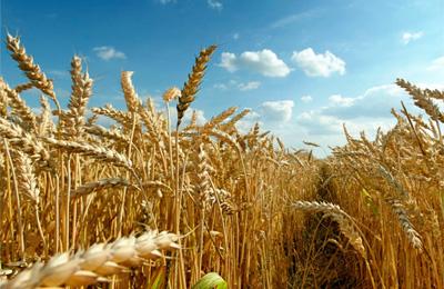 grain field зерно поле