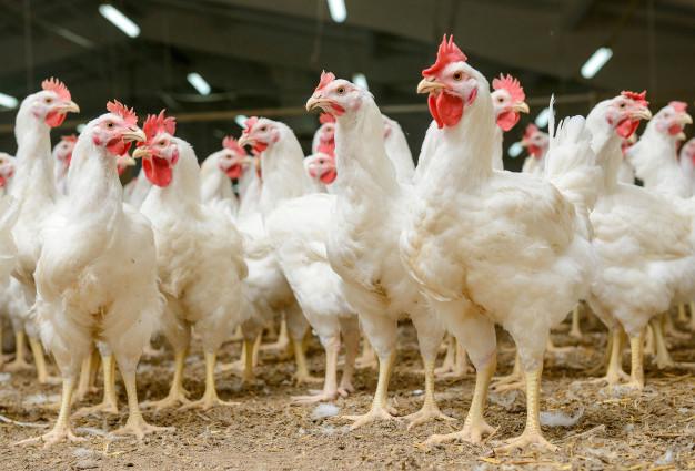 chicken куры птица poultry